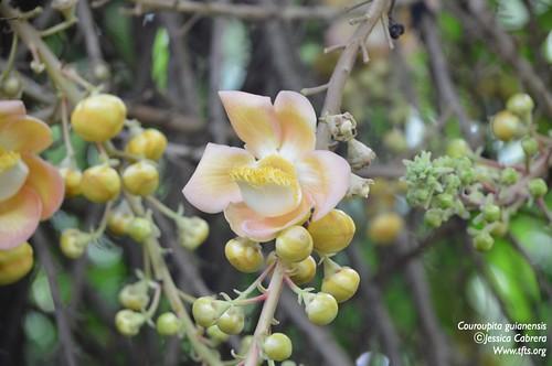 Couroupita guianensis | by tftsmiami