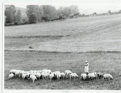 Kopie van griekenland schapen met vrouw
