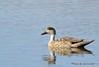 Crested duck - Pato creston - Lophonetta specularioides by Rafael G. Sanchez