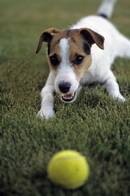 Jack Russell Terrier in backyard playing with ball