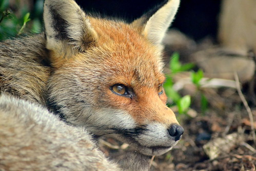 Oops, I woke up the Fox asleep by my backdoor