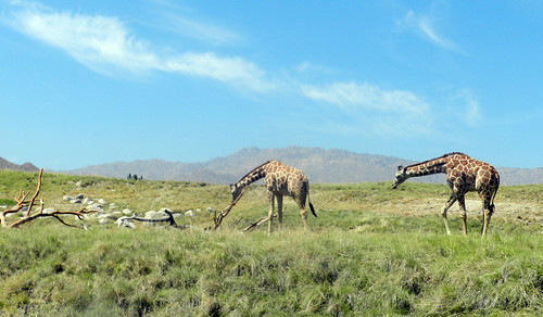 california ca usa field unitedstates giraffes 2012 palmdesert nikoncoolpixp500