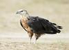 Pallas's Fish Eagle by Koshyk