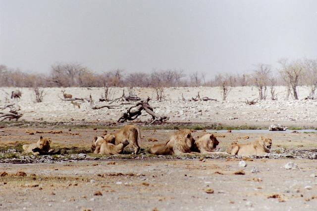 Lions pride, Etosha national park, Namibia, 1992