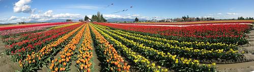 skagit valley washington usa tulips panorama flowers rows spring clouds blue skies tuliptown red yellow orange white purple barn mud water tulip inexplore