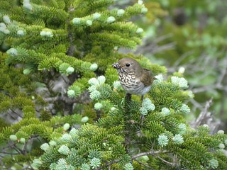 Bicknell's Thrush | by Justin L. Lee