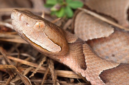 Southern Copperhead | by Natalie McNear