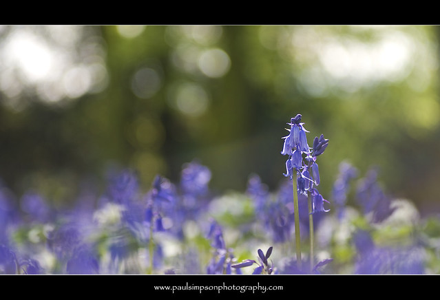 Two bluebells