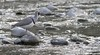 North India Tour 2012: Ibisbill! by spiderhunters