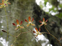 Florida Butterfly Orchid (Encyclia tampensis) by Rezamink