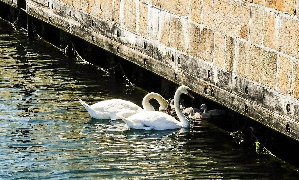 Swanlings in Copenhagen Harbour