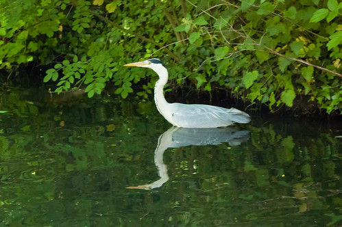 Heron hunting, canal by Crowther Road wood