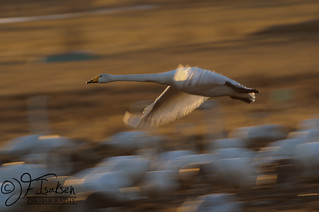 Whopper Swans 2011 (5 of 8) | by JFIsaksen