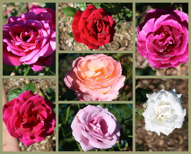 A Mosaic of Roses....