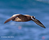 Spectacled  Petrel,       Procellaria conspicillata,   Classified as IUCN Vunerable. by Graham Ekins
