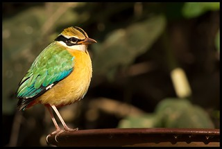 Indian Pitta - One of the Many | by sumeet.moghe
