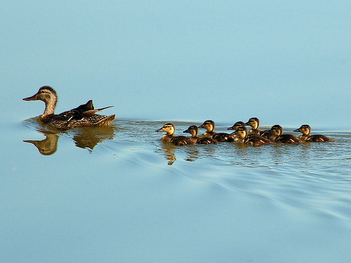blue duck pond ducklings wetlands mallard hen flowrbx specnature 25faves animalkingdomelite firsttheearth