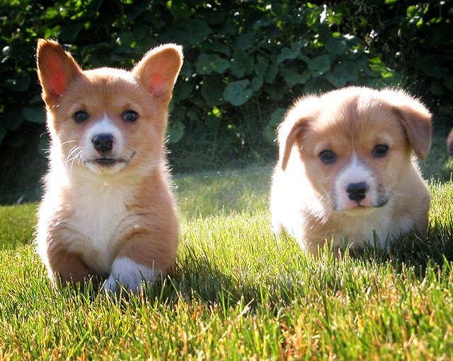 go puppies go