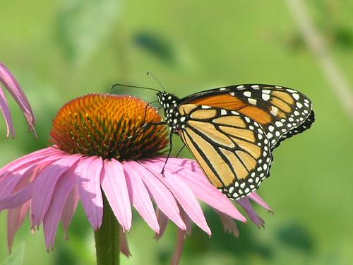Pretty Monarch Butterfly 003 - Danaus Plexippus