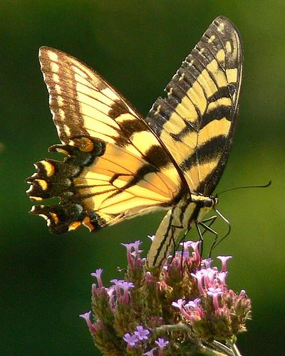 butterfly swallowtail verbena specnature flutteryfriday