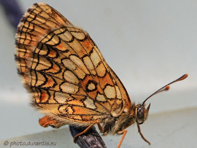 Melitaea deione · Mélitée des linaires · Leinkraut-Scheckenfalter
