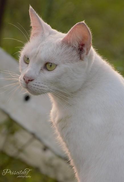 White Cat with Green
