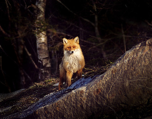 Rødrev (Vulpes vulpes) | by NTNU, Faculty of Natural Sciences