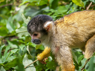 Spider_Monkeys_Santa_Rosa,_Bolivia_(6_of_8).jpg | by chasingwildlife