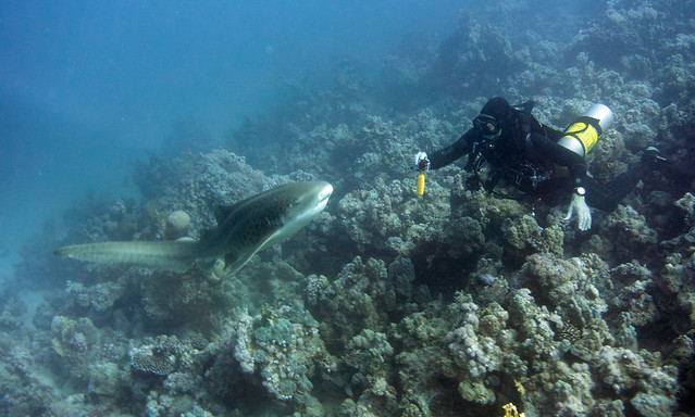 Zebra Shark, Stegostoma fasciatum, Kormoran Wreck, Tiran, Red Sea