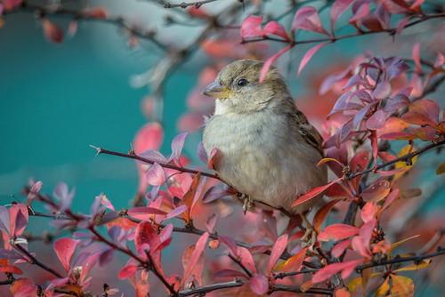housesparrow portrait wildlife nature bird leaf sparrow barbarybush female red philadelphia pennsylvania unitedstates us nikon d800e