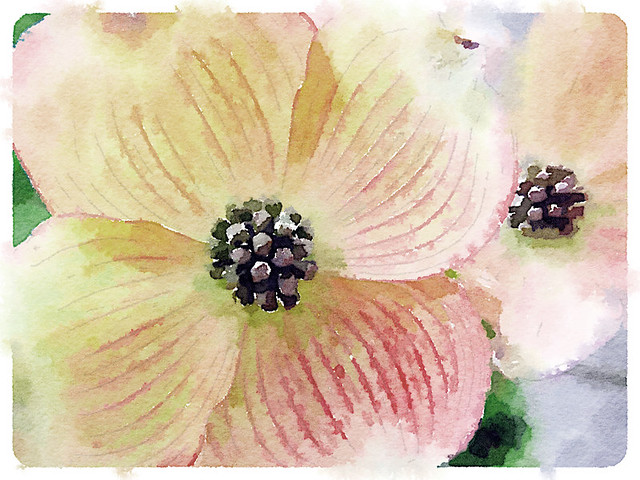 Pink dogwood painted in Waterlouge