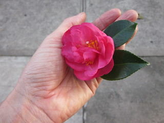 camellias coming | by lkell