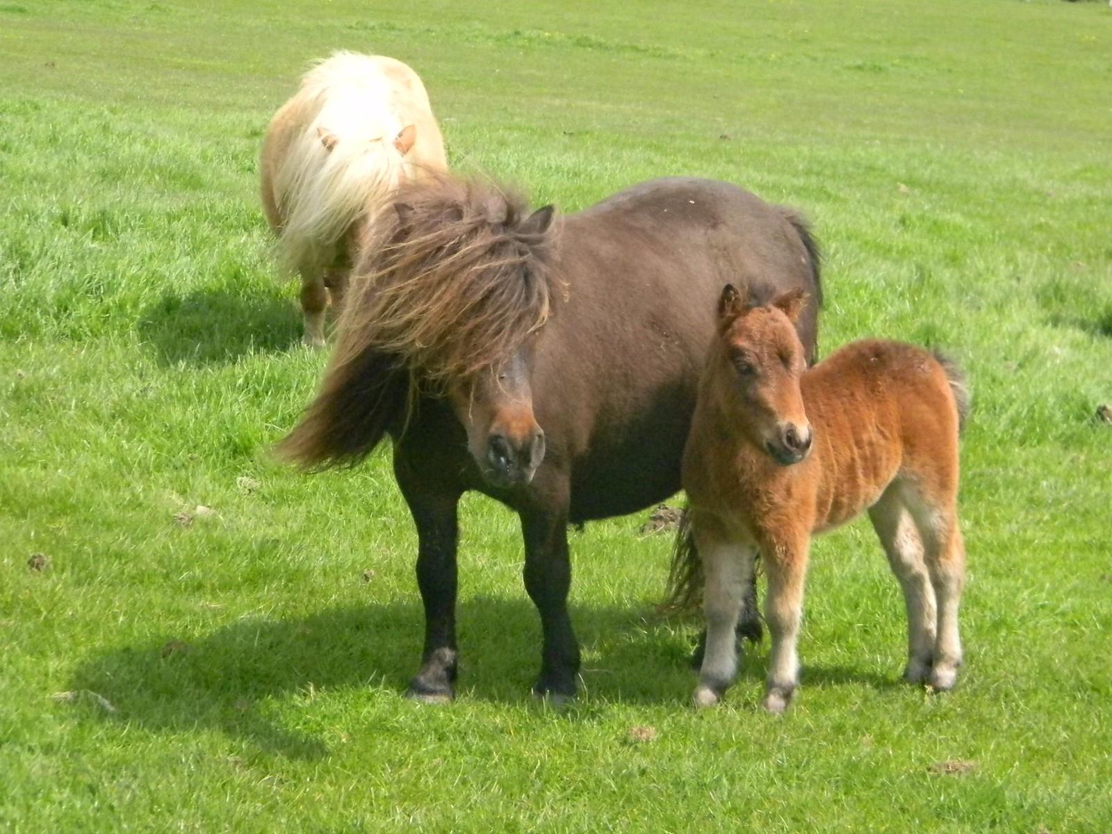 Shetland with foal Berwick to Birling Gap