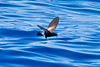 012002-IMG_2917 Wilson's Storm-petrel (Oceanites oceanicus) by ajmatthehiddenhouse