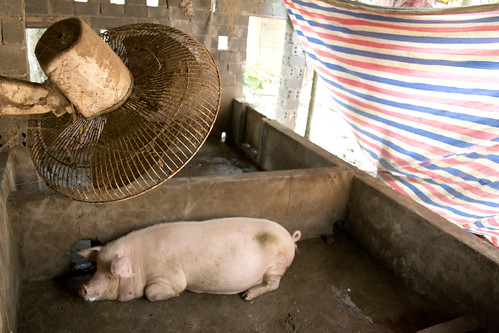 Apr/2012 - A pig cools down under a room fan installed in this smallholders pig pen in Chưng Mỹ, 30km north of Hanoi, Vietnam (photo credit: ILRI/Andrew Nguyen).