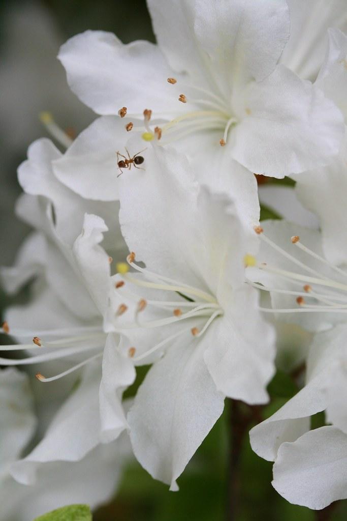 Weiße Ameise