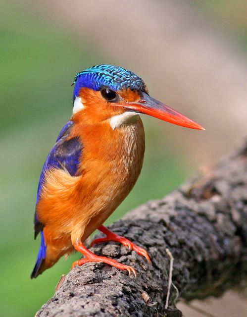 Malachite Kingfisher, Corythornis cristatus