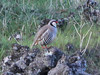 Sicilian Rock Partridge, Etna (Sicily), 26-Apr-12 by Dave Appleton