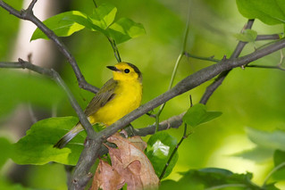 Hooded Warbler (Setophaga citrina) | by Frode Jacobsen