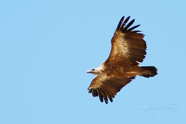 Grifo - Gyps fulvus - Griffon Vulture