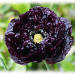 PAPAVER PAEONY BLACK