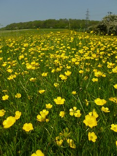 Buttercups in late May Sandling to Wye walk
