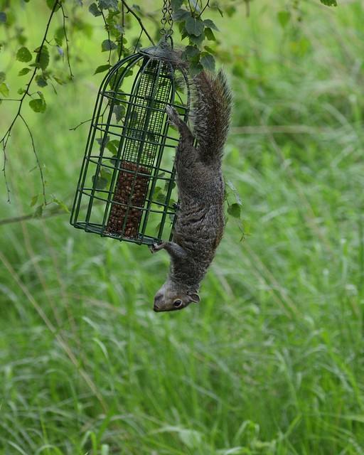 Grey squirrel_003