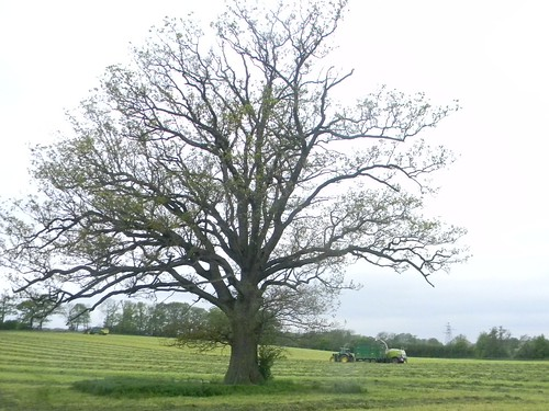 Tree in a field ... with harvester.... Cowden to Eridge