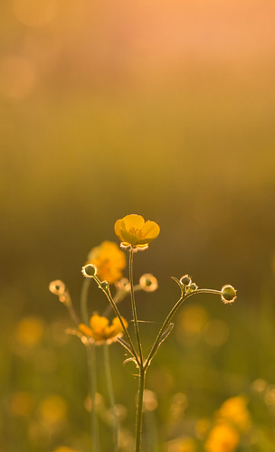 uk light sunset wild summer england flower macro yellow canon countryside spring warm buttercup bokeh 8 100mm petal 7d f2