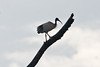 024003-IMG_3712 Australian white ibis (Threskiornis molucca) by ajmatthehiddenhouse