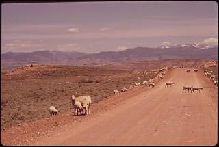Grazing sheep, near Blue Mesa Reservoir, 05/1972.