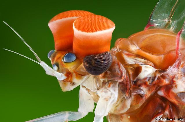 Male mayfly / Ephemeroptera
