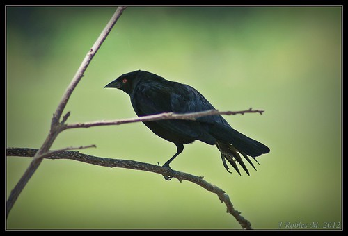 Brewer's Blackbird (Euphagus cyanocephalus) | by Jaime Robles M.