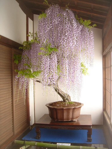 (2)Wisteria of bonsai